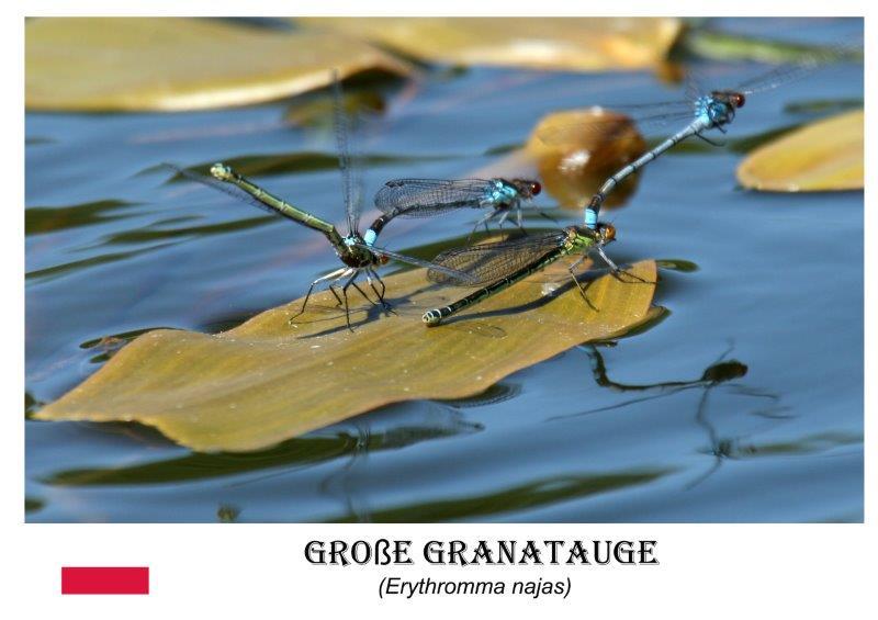 Große Granatauge
