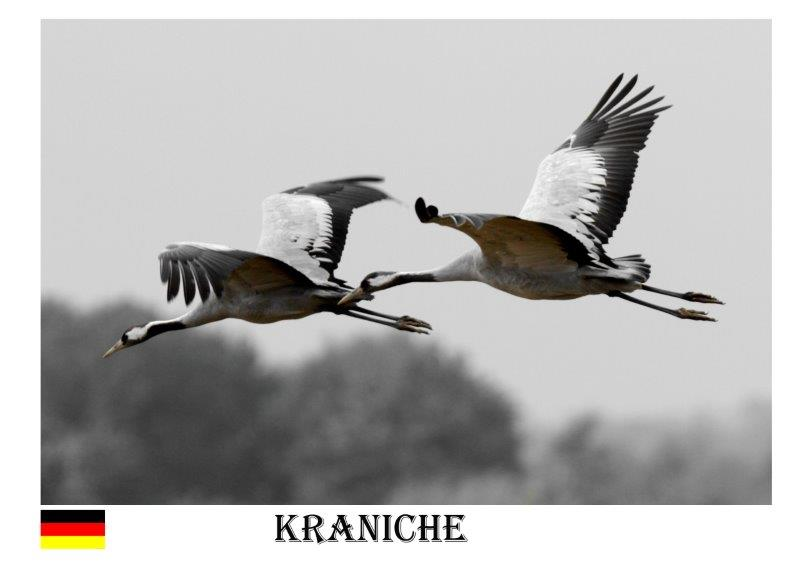 Kraniche-4