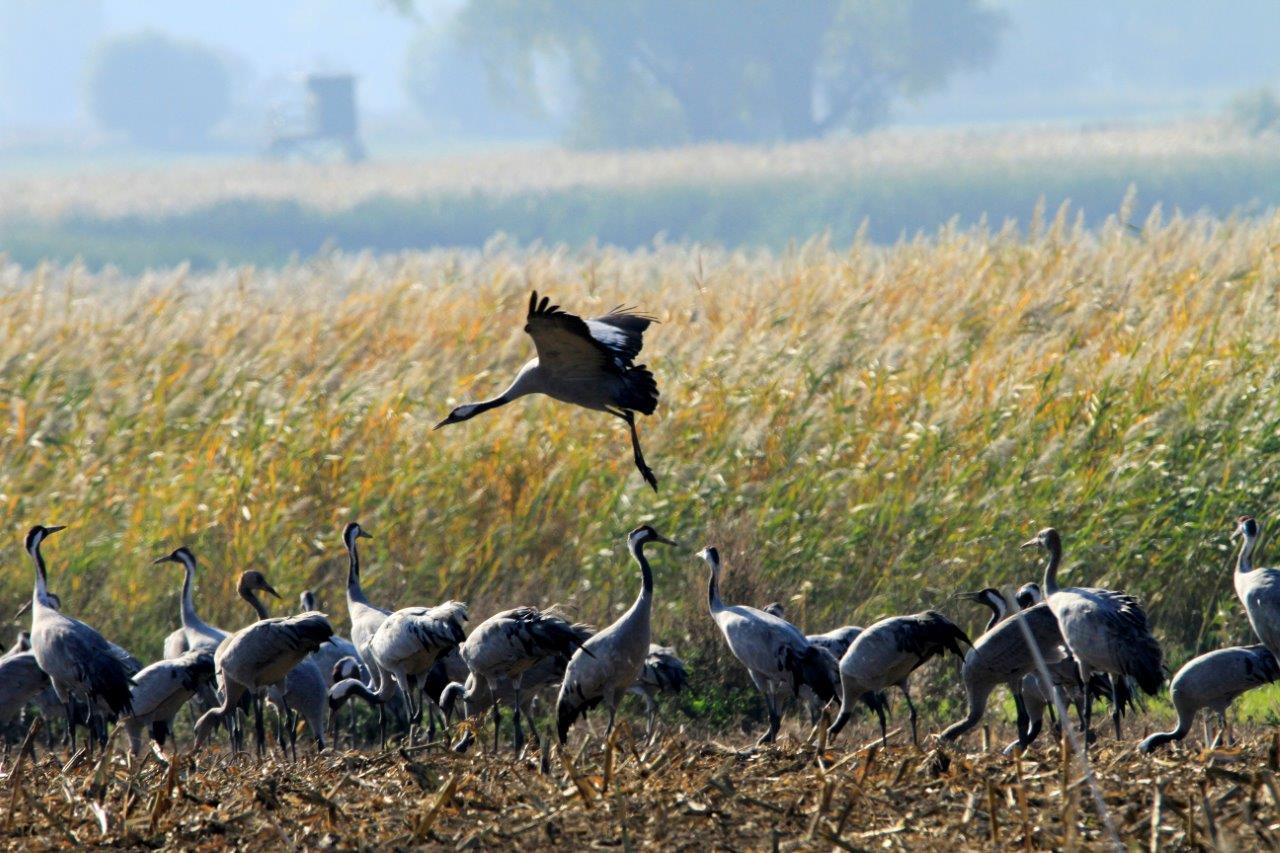 _MGL6096-1 Cranes Darst