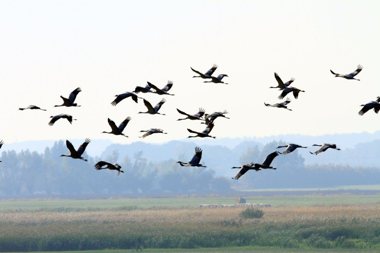 _MGL6181-1 Cranes