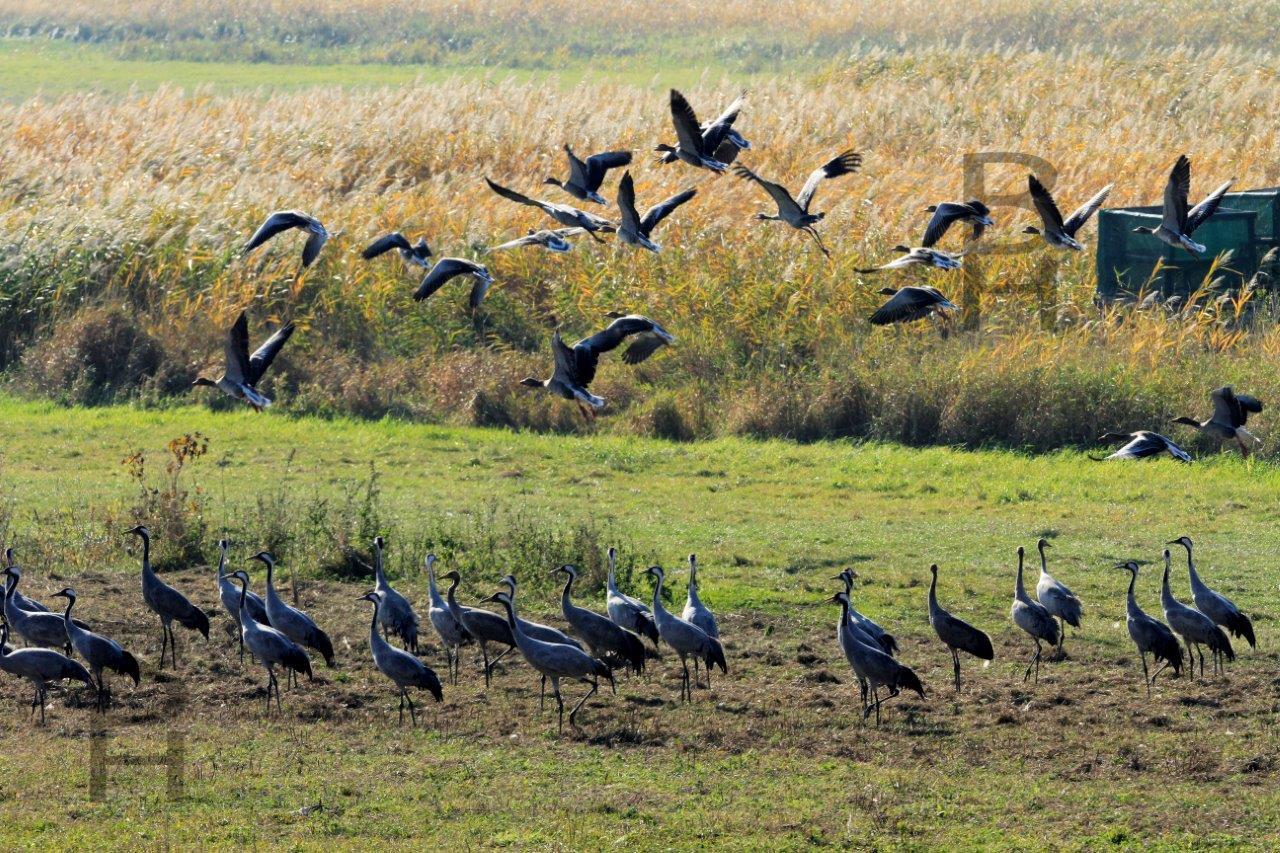 _MGL6228-1 Cranes mit copyright