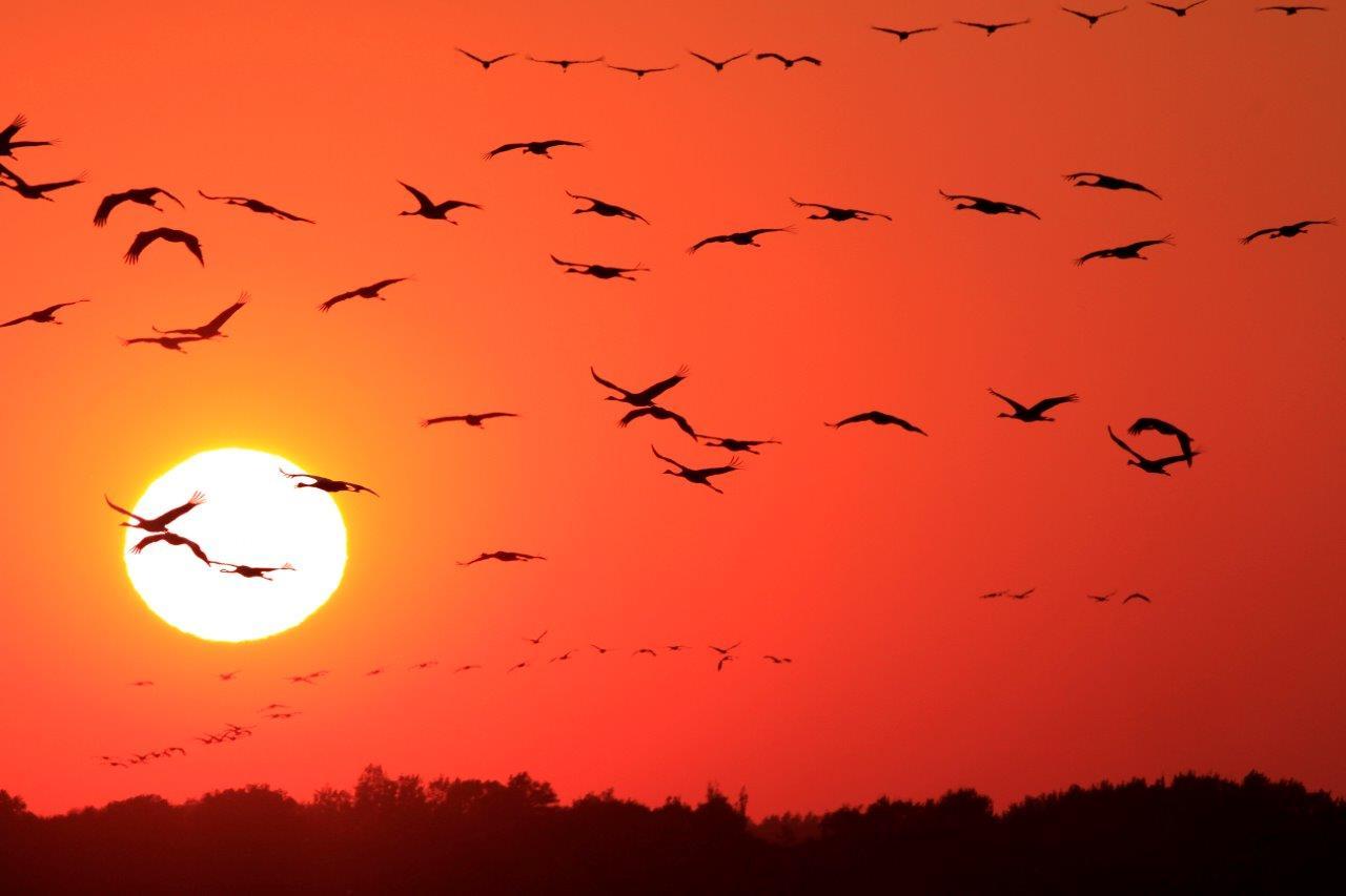 _MGL6433-1 Sonnen Untergang mit Krahniche