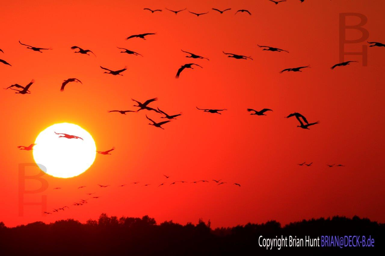 _MGL6435-2 Cranes in sonnen untergang mit copyright