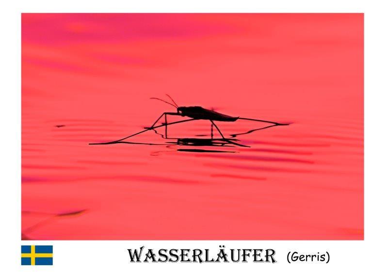 Wasserläufer-1