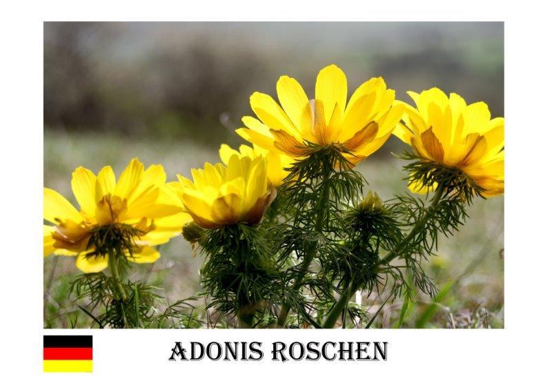 bh Adonis Röschen