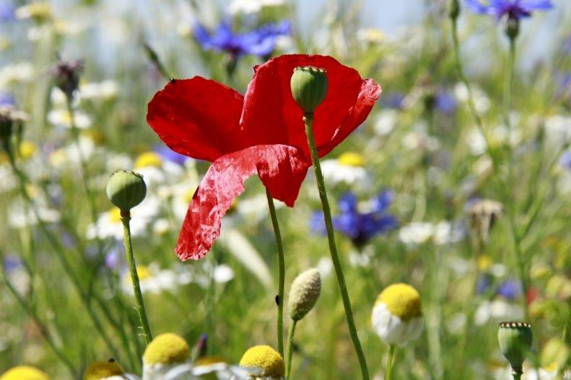 bh _MG_2363-1 Poppy