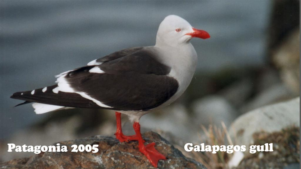 730878-05A Patagonie Seagull Pan-American 2005 16x9 (Large)