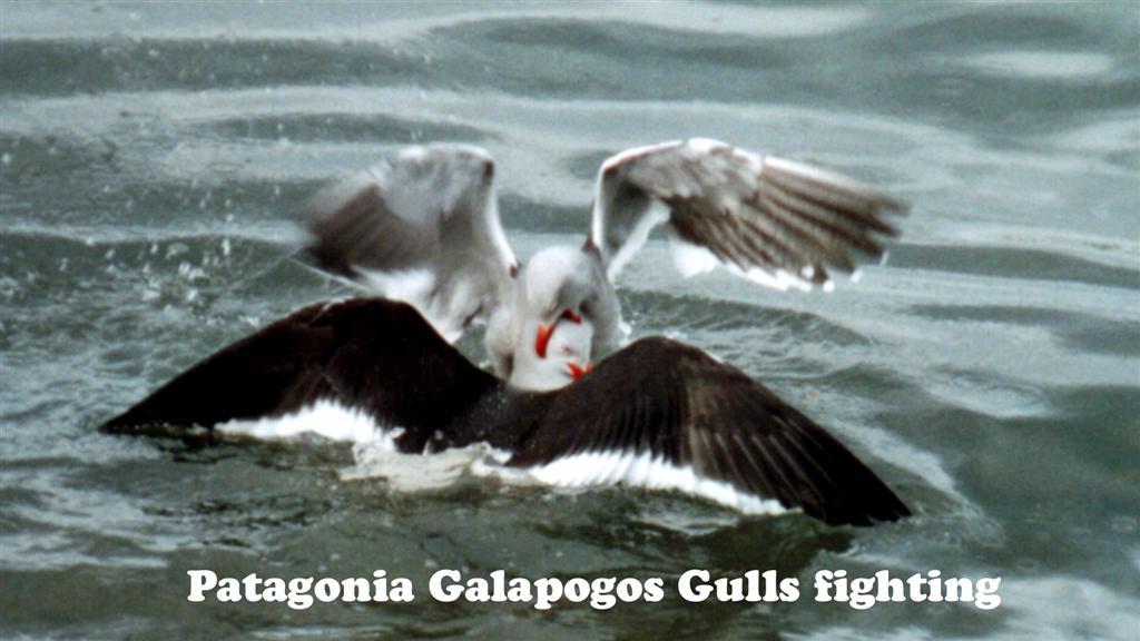 730879-04 Patagonie Ushuai Seagull  Pan-American 2005 16x9 (Large)