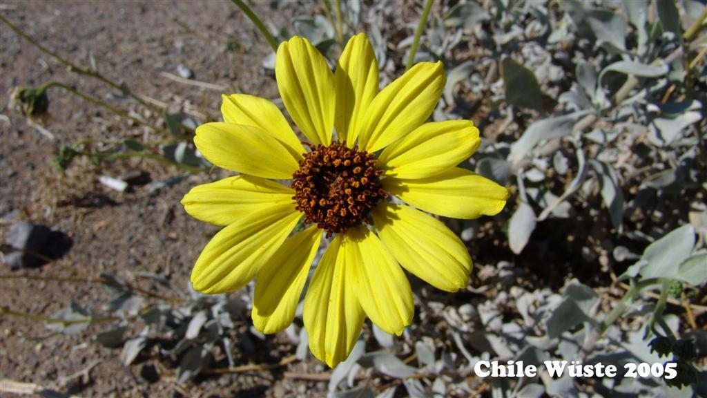DSC01306-1 Chile 2005 Wüsten sonnenblume 16x9 (Large)