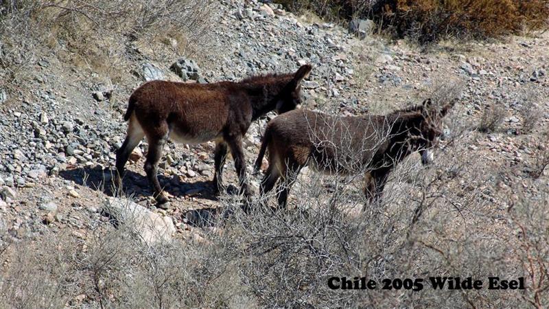 DSC01337-1 Chile Wilde Esel 16x9 (Large) (Medium)