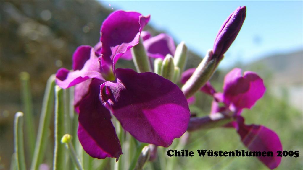 DSC01347-1 Chile Wustenblumen 16x9 (Large)