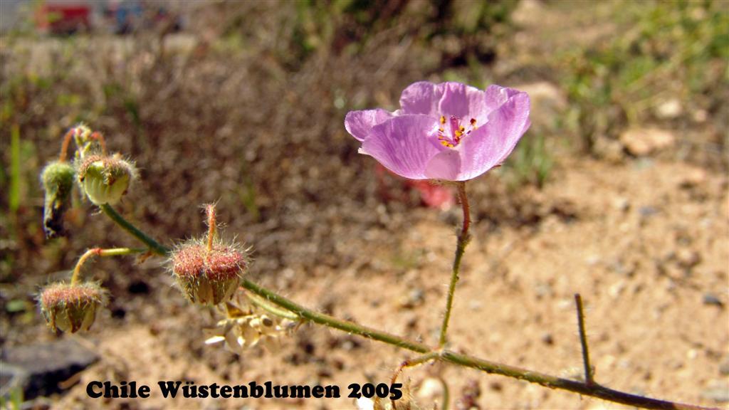 DSC01383-1 Chile Wüstenblumen 2005 16x9 (Large)